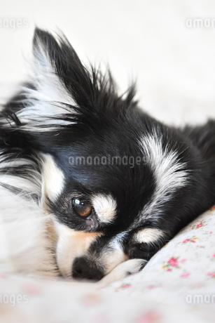 犬 チワワ の写真素材 [FYI03407460]