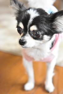 犬 チワワ 白黒の写真素材 [FYI03407462]