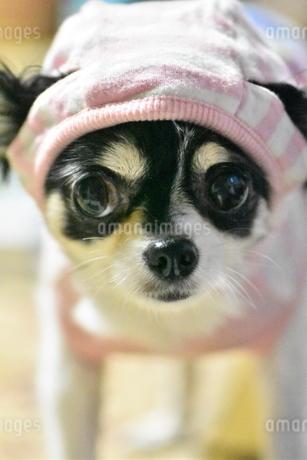 犬 チワワ 帽子の写真素材 [FYI03407464]