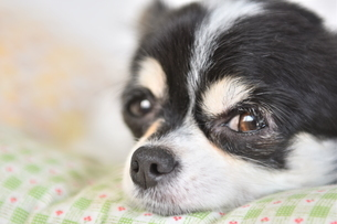犬 チワワ 眠いの写真素材 [FYI03407466]