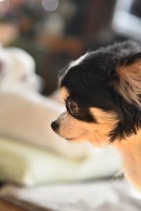 犬 チワワの写真素材 [FYI03407471]