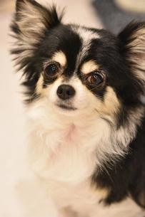 犬 チワワの写真素材 [FYI03407477]