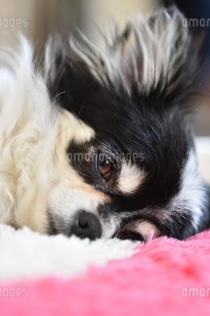 犬 チワワ 居眠りの写真素材 [FYI03407481]
