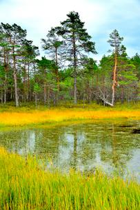 エストニア・北部のラヘマー国立公園の赤松の群生があるヴィル湿原の写真素材 [FYI03407729]