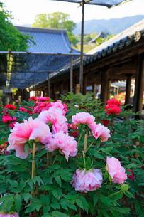 5月 ボタン祭りの長谷寺の写真素材 [FYI03407884]