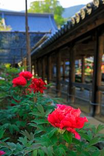 5月 ボタン祭りの長谷寺の写真素材 [FYI03407885]