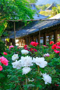 5月 ボタン祭りの長谷寺の写真素材 [FYI03407886]