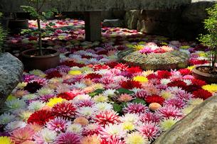 5月 岡寺のボタン祭りの写真素材 [FYI03407896]