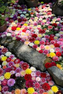 5月 岡寺のボタン祭りの写真素材 [FYI03407897]