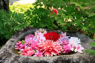 5月 岡寺のボタン祭りの写真素材 [FYI03407898]