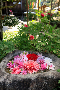 5月 岡寺のボタン祭りの写真素材 [FYI03407899]