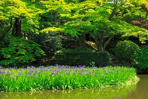5月 長岳寺のカキツバタ の写真素材 [FYI03407909]