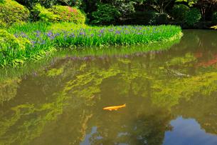 5月 長岳寺のカキツバタ の写真素材 [FYI03407918]