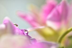 水滴 しずく ピンクの花の写真素材 [FYI03408129]