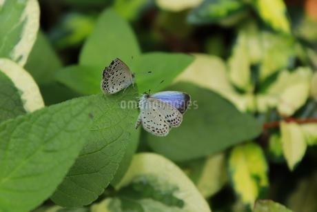 蝶の写真素材 [FYI03408222]