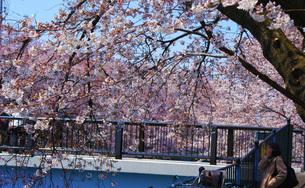 桜に包まれた橋の写真素材 [FYI03408356]