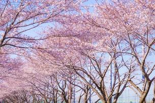 満開の桜と晴天の青空(調布飛行場)の写真素材 [FYI03408359]