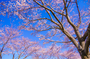 満開の桜と晴天の青空(調布飛行場)の写真素材 [FYI03408388]