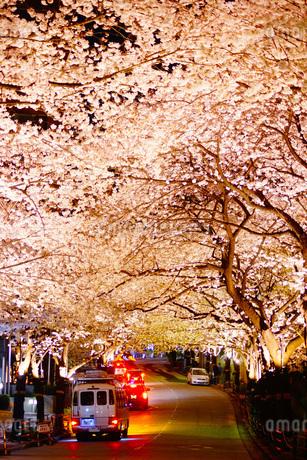 夜桜のトンネルの写真素材 [FYI03408401]