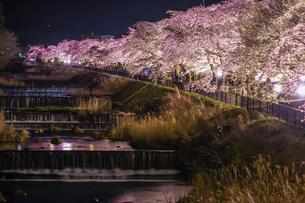 宮城野早川堤の桜の写真素材 [FYI03408414]
