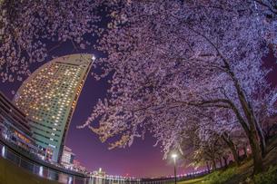 横浜・みなとみらいの夜桜の写真素材 [FYI03408446]