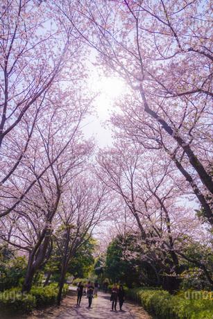 本牧山頂公園の満開の桜(横浜市)の写真素材 [FYI03408465]