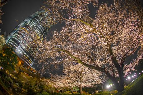 夜桜と六本木ヒルズ(毛利庭園)の写真素材 [FYI03408480]