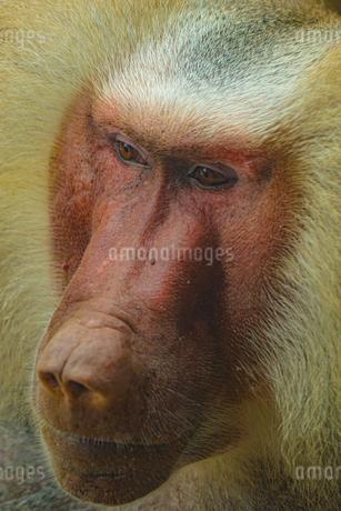 シンガポール動物園のマントヒヒのイメージの写真素材 [FYI03408488]