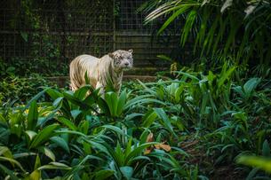 ジャングルに佇むホワイトタイガーの写真素材 [FYI03408508]