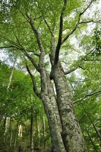 ブナの森の写真素材 [FYI03408523]