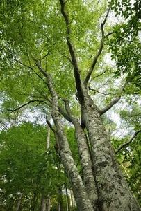 ブナの森の写真素材 [FYI03408526]