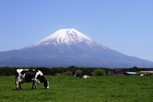 Cow with Mt Fujiの写真素材 [FYI03408539]