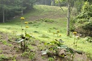 滝子山の尾根道にマルバダケブキの花の写真素材 [FYI03408591]