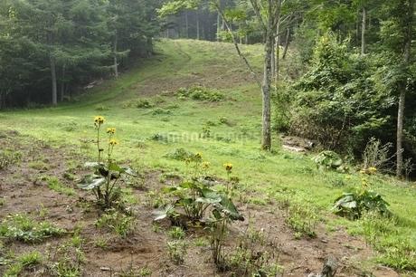 滝子山の尾根道にマルバダケブキの花の写真素材 [FYI03408592]