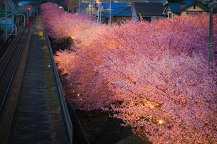 三浦海岸の河津桜の写真素材 [FYI03408599]