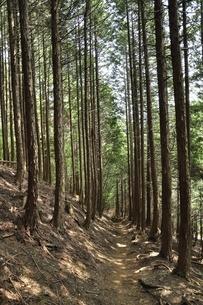 植林帯を通る登山道の写真素材 [FYI03408648]
