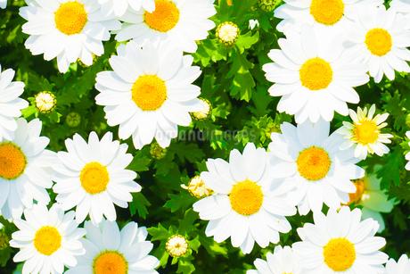 色鮮やかなカモミールのイメージ(壁紙用)の写真素材 [FYI03408670]