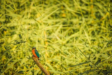 カワセミのイメージ(大和市泉の森公園)の写真素材 [FYI03408695]