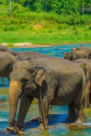 野生の象のイメージ(スリランカ・ピンナワラ)の写真素材 [FYI03408700]