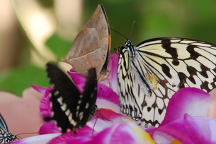 蝶の写真素材 [FYI03408745]