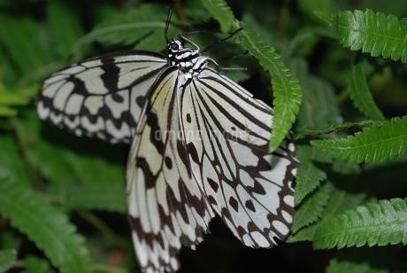 蝶の写真素材 [FYI03408746]