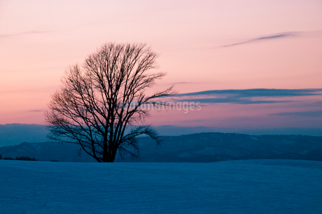 夕暮の雪原に立つ冬木立 美瑛町の写真素材 [FYI03408793]