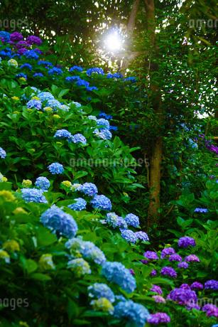 紫陽花イメージの写真素材 [FYI03408852]