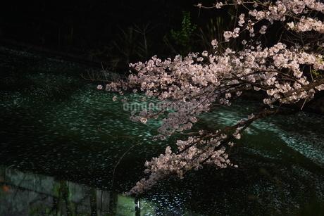 千鳥ヶ淵の夜桜の写真素材 [FYI03408857]