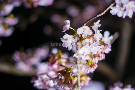 早咲き桜(河津桜)の写真素材 [FYI03408864]