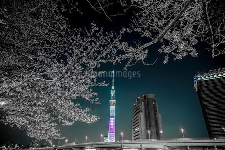 桜の木とスカイツリーの写真素材 [FYI03408882]