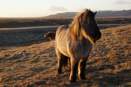 アイスランドの草原の馬(野生)の写真素材 [FYI03408908]