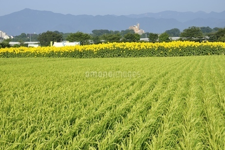 稲穂とひまわり畑と丹沢山地の写真素材 [FYI03408999]