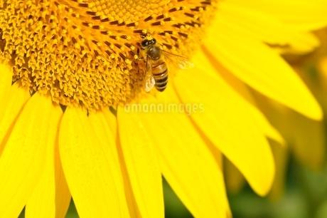 ヒマワリとハチの写真素材 [FYI03409003]