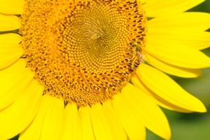 ヒマワリとハチの写真素材 [FYI03409004]